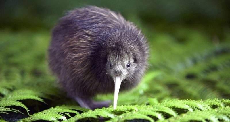 птица киви, животные новой зеландии
