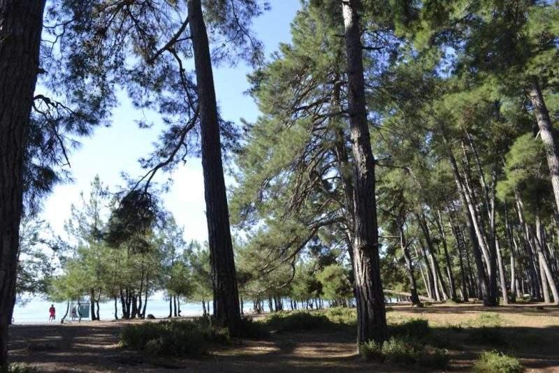 Пицунда (Лдзаа) - лес у моря