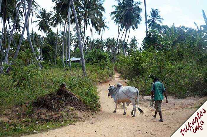 занзибар пальмы и коровы