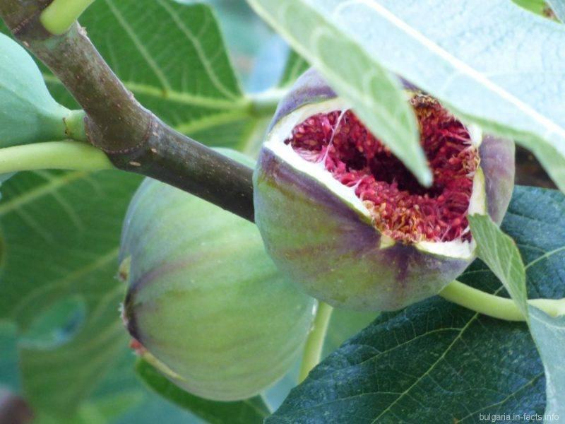 Болгарсике фрукты