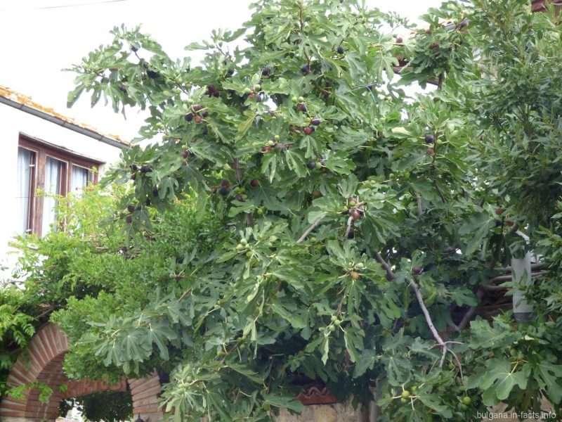Огромное дерево инжира