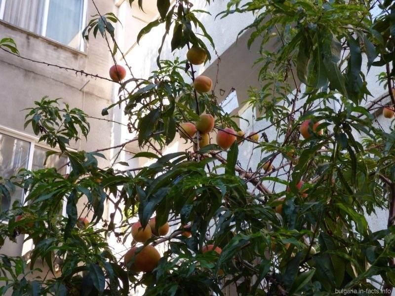 Персики в Болгарии