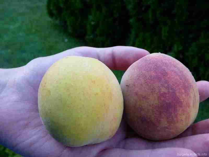 Подаренные нам персики