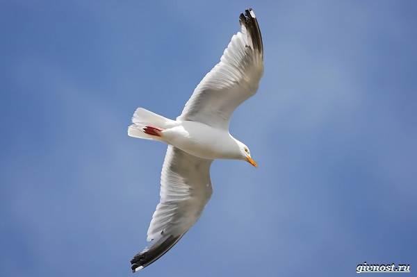 Чайка-птица-Описание-особенности-виды-и-среда-обитания-птицы-чайки-2