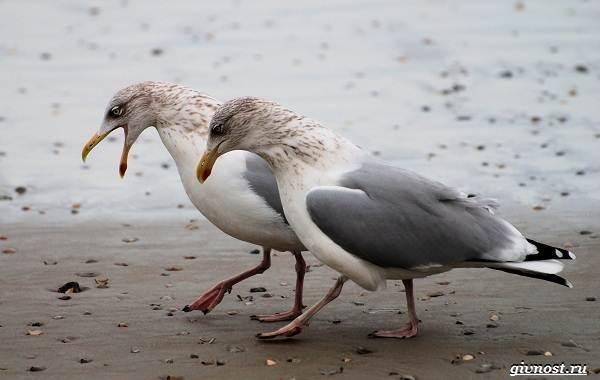 Чайка-птица-Описание-особенности-виды-и-среда-обитания-птицы-чайки-4