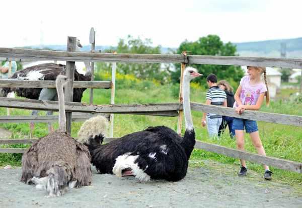 Денисовская страусиная ферма