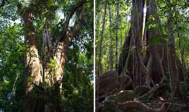 дерево 500 лет