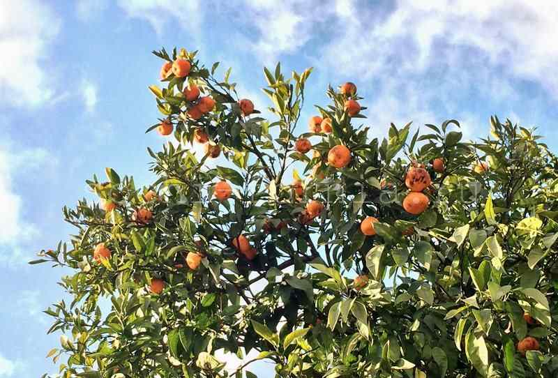 mandariny
