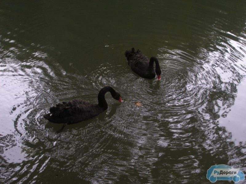 Лебеди в дендрариуме