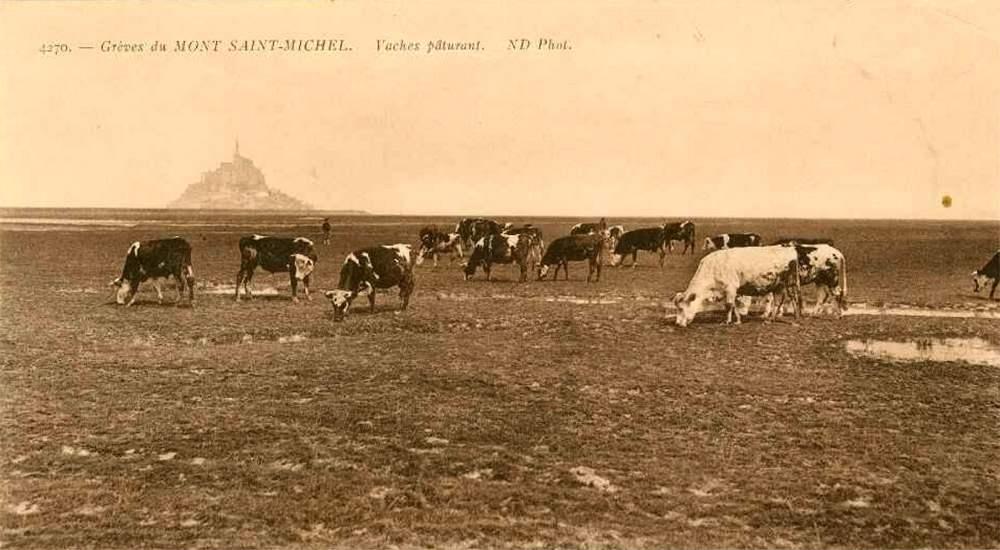 Выпас коров на польдерах в окрестностях Сан-Мишель, фото конца 19-го века
