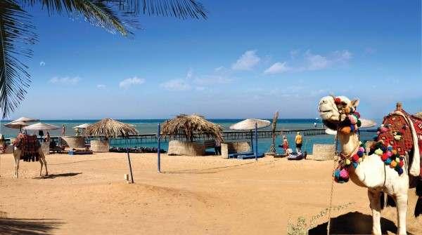 Верблюд на пляже на курорте Эль Гуна